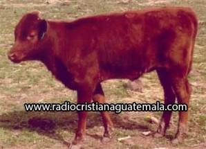 Nacimiento de vaca roja anuncia la construcción del Tercer Templo