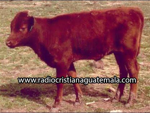nacimiento de vaca roja anuncia era mesiánica